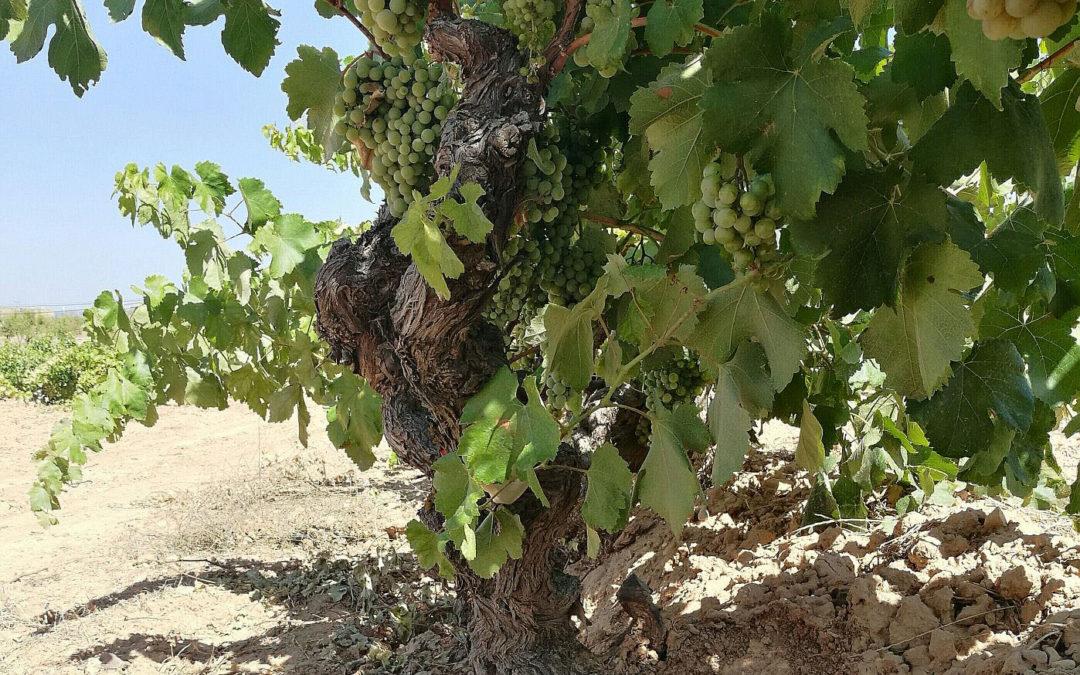 Noves plantacions de Cérvoles consoliden l'aposta pel Macabeu