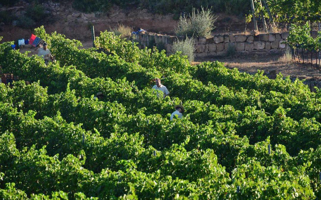 Clos Pons confía en vendimiar más uva